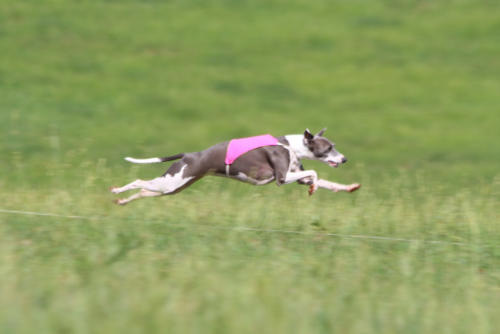 AKC Lure Coursing: May 20th, 2018