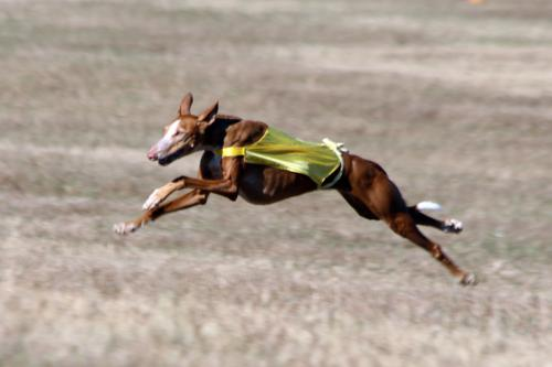 AKC Lure Coursing: Nov 24th, 2017